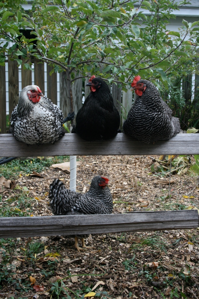 Keep your hens warm and cozy with compost? You betcha!